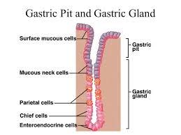 Gastric gland